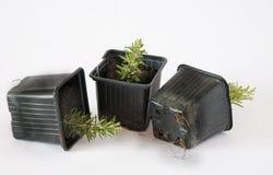Estacas de Rosemary (rosmarinus) enraizadas Imagem de Stock