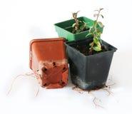 Estacas do Cotoneaster enraizadas Imagens de Stock Royalty Free