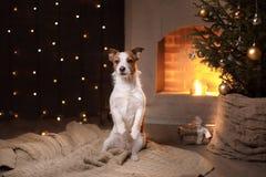 Estación 2017, Año Nuevo de Jack Russell Terrier Christmas del perro Fotografía de archivo