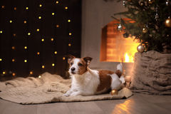 Estación 2017, Año Nuevo de Jack Russell Terrier Christmas del perro Fotografía de archivo libre de regalías