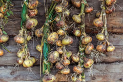Estación de la cosecha, las cebollas trenzadas se secaron en un fondo del woode Imagen de archivo libre de regalías