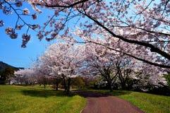 Estación de la flor de cerezo/primavera japonesa Fotografía de archivo libre de regalías