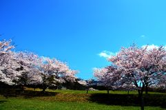 Estación de la flor de cerezo/primavera japonesa Fotos de archivo