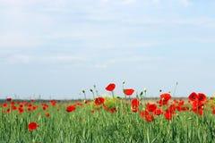 Estación de primavera de la flor de las amapolas Imagen de archivo libre de regalías