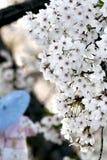 Estación del flor de cereza. Fotos de archivo