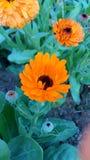 Estación del invierno de la flor de Sun Foto de archivo