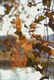 Estación del otoño con una hoja de arce cambiante imagen de archivo libre de regalías