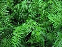 Estación tropical del verde de Fern Bushes fotos de archivo