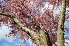 Estaci?n floreciente Sakura And Sunlight rosada imágenes de archivo libres de regalías