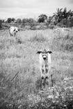 Estada da vaca da criança da vitela e da vaca da mãe alertada foto de stock