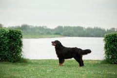 Estada do cão de montanha de Bernese árvores e rio verdes no fundo fotografia de stock royalty free