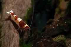 A estada do camarão do anão do vinho tinto na decoração da madeira procura o alimento no tanque do aquário da água fresca imagem de stock royalty free