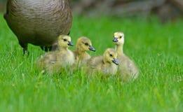 Estada dos bebês do ganso de Canadá perto da mamã Imagens de Stock