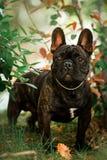 estada francesa pequena do cão do touro do preto bonito do retrato na grama Floresta verde no fundo fotografia de stock
