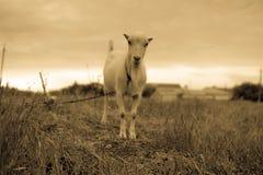 Estada no campo, foto da cabra doméstica no sepia fotografia de stock royalty free