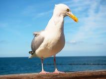 Estada próxima da gaivota no corrimão de madeira Pássaro que olha na câmera foto de stock royalty free