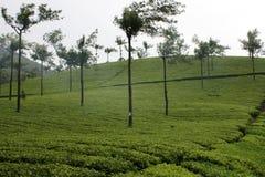 Estado del té Fotografía de archivo libre de regalías