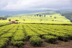 Estado del té, Nandi Hills, montañas de Kenia del oeste imágenes de archivo libres de regalías