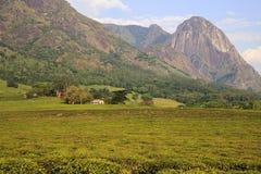 Estado del té - macizo de Mulanje Foto de archivo