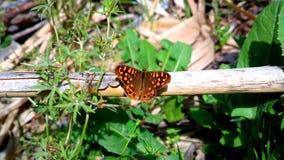 Estado en su Mariposa естественное Стоковая Фотография
