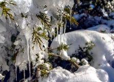 Estalactitas en árbol de ciprés Imagen de archivo