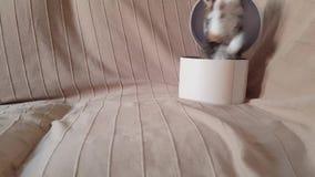 Estallidos lindos grises del gatito fuera de la caja almacen de metraje de vídeo