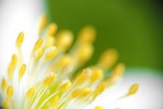 Estambre de la flor Imágenes de archivo libres de regalías