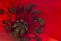 Estambre de la flor roja brillante Foto de archivo libre de regalías