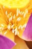 Estambre de Lotus Fotografía de archivo libre de regalías