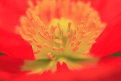 Estambre hermoso de la flor Fotografía de archivo