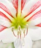 Estambres de la flor Fotos de archivo libres de regalías
