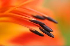 Estambres macros del lirio anaranjado Foto de archivo