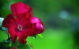 Estambres mullidos en el centro de una flor roja de la rosa Imagen de archivo