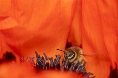 Estambres rojos y púrpuras de la amapola con la abeja Fotos de archivo libres de regalías