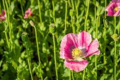 Estambres y pistilo de una planta floreciente rosada de la amapola del cierre Fotos de archivo