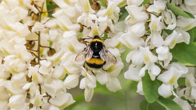 Estambul, Turquía - 18 de abril de 2016: Una abeja salvaje que recoge el néctar en las flores blancas Fotografía de archivo libre de regalías