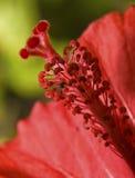 Estame do hibiscus imagem de stock