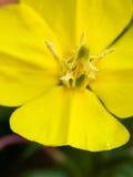 Estame macro da flor das pétalas do fim selvagem do amarelo Imagens de Stock Royalty Free