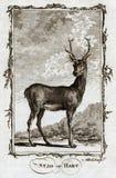 Estampado de animales 1770 de la antigüedad de Buffon de un macho o de Hart Deer Fotos de archivo libres de regalías