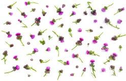 Estampado de flores hecho de cardo con las flores y las espinas rosadas y púrpuras en el fondo blanco Endecha plana, visión super fotografía de archivo
