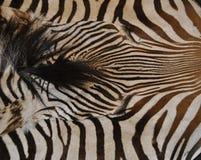 Estampado de zebra Foto de archivo libre de regalías