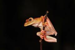 Rana arbórea del Harlequin Fotografía de archivo libre de regalías