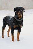 Estancia de Rottweiler en la nieve Imágenes de archivo libres de regalías