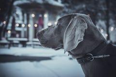 Estancia del perro de Weimaraner en la calle del invierno por la tarde Fotos de archivo libres de regalías