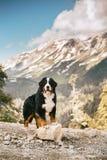 estancia feliz hermosa del perro de montaña de Bernese del retrato en el camino altas rocas en fondo fotografía de archivo libre de regalías