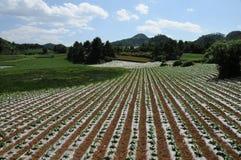 Estandardización de la cultivación secada con aire caliente del tabaco Fotos de archivo