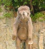 Estando acima o elefante Imagem de Stock Royalty Free