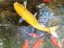 Estanque de peces con los pescados Fotografía de archivo libre de regalías