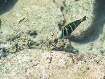 Estanque de peces tropical en el hotel intercontinental del centro turístico y del balneario en Papeete, Tahití, Polinesia france Fotos de archivo