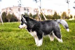 Estante del perro esquimal del perrito Imágenes de archivo libres de regalías